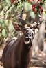 Nyala Bull Sabie Sands South Africa.