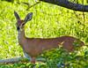Steenbok ewe Kruger Park.