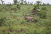 Male reedbuck Kruger Park
