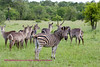 This mixed herd of zebra and waterbuck was taken near Nkorho in Sabie Sands.