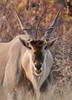 Eland Bull Etosha Park Namibia.