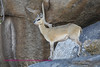 Klipspringer Ewe Kruger Park South Africa.