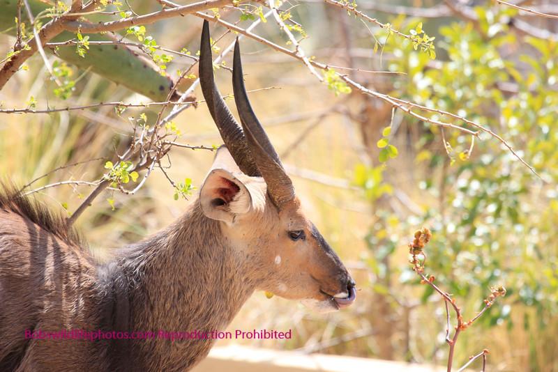 Bushbuck Ram Sabie Sands.
