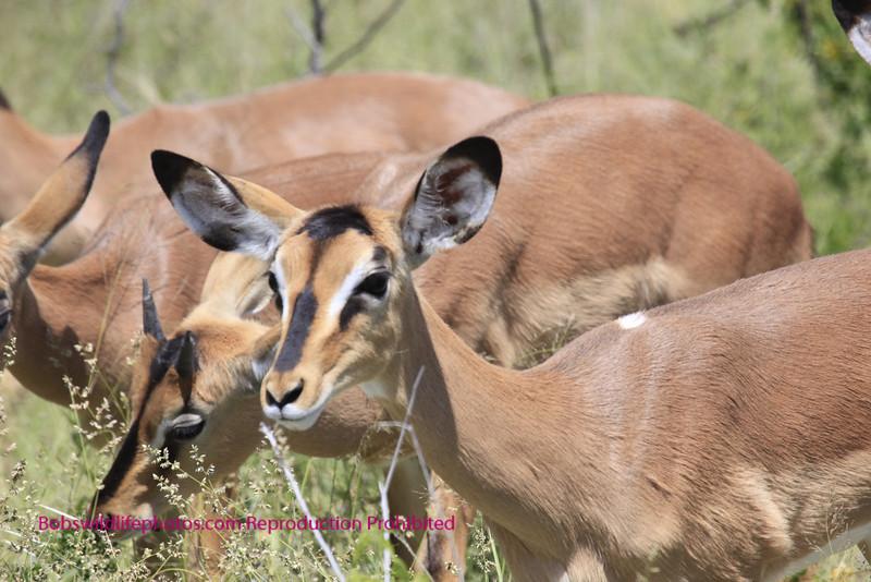 Black Faced Impala females.