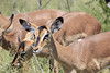 Black Faced Impala females.