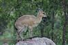 Klipspringer taken in Kruger Kruger Park