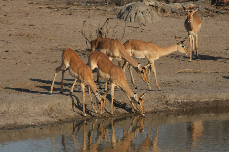 Impala taking a drink Sabi Sands South Africa