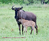 This is a female Blue Wildebeest with a young calf. The Wildebeest is also known as a Gnu for crossword puzzle fans. The male weighs up to 550 pounds and the female up to 400. The Wildbeest is often found in large herds including Zebra. There is speculation that the Zebra associate with the Wildbeest, as they are an even more favored food of lions, as a way to avoid these predators. If this is true, Zebra are smarter then we think. Sabi Sands South Africa