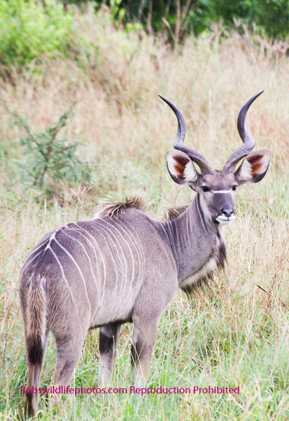 Young male kudu watching his six Kruger Park