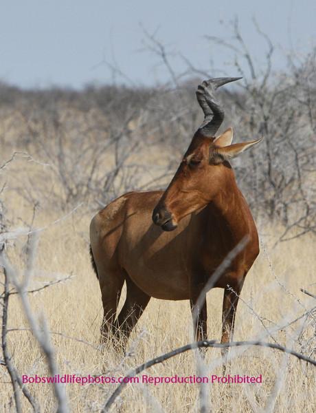 Red Hartebeest Etosha Park Namibia.