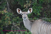 Female kudu looking right at us. Kruger Park