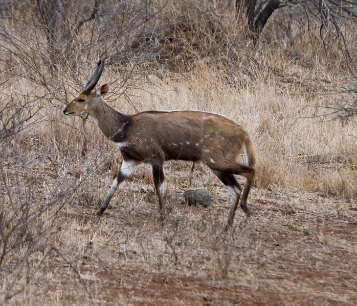 Bushbuck Ram Kruger Park