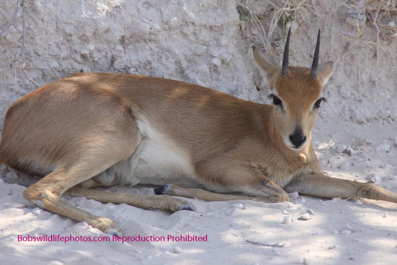 Steenok Ram. Etosha Park