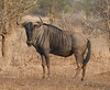 This is a large bull Wildabeest bull. Also a blue. We don't have any photos of the black Wildebeest a much rarer animal. Kruger Park