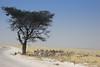 Springbok Etosha Park Namibia.