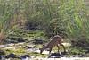 Bushbuck Ewe Sabie Sands