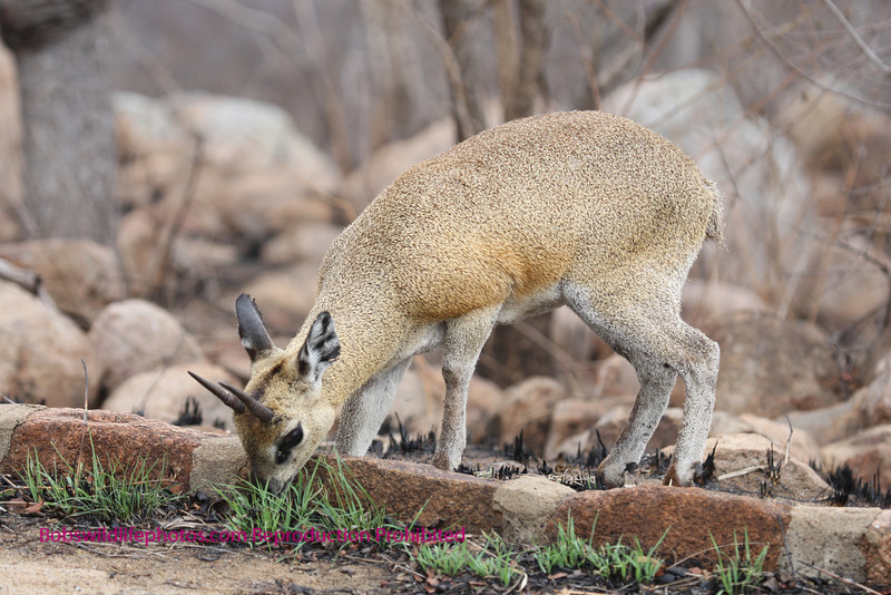 Klipspringer Ram Kruger Park South Africa.