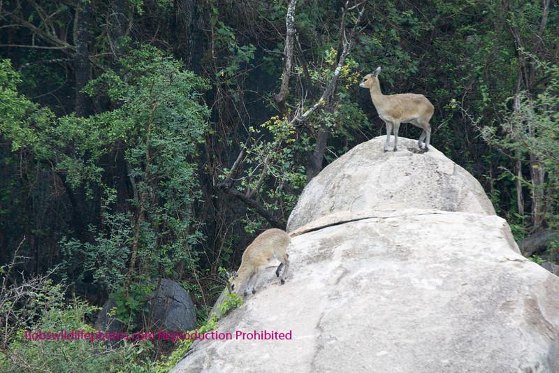 Pair of Klipspringer on a large rock Kruger Park