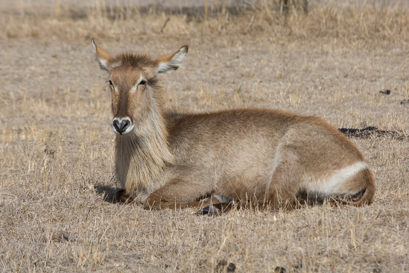 Waterbuck taking a break. Kruger Park