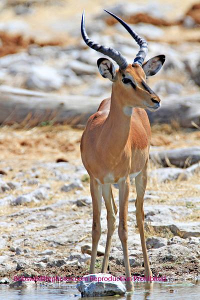 Black Faced Impala. This sub species is considered threatened. Photo taken in Etosha Park Namibia.