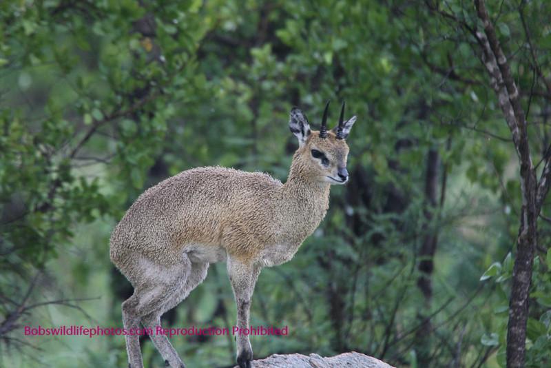 Young male klipspringer Kruger Park