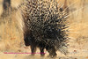 This porcupine was photographed near the Goas waterhole in Etosha Park Namibia. He had just been chased from his/her burrow by a young leopard. The leopard backed off after lifting one paw and touching the quills. Smart cat.