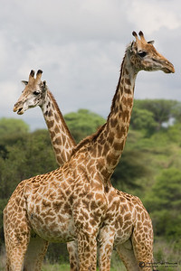 The giraffe (Giraffa camelopardalis) is an African even-toed ungulate mammal, the tallest of all land-living animal species. Males can be 4.8 to 5.5 metres (16 to 18 feet) tall and weigh up to 1,360 kilograms (3,000 pounds). The record-sized bull was 5.87 m (19.2 feet) tall and weighed approximately 2,000 kg (4,400 lbs.). Females are generally slightly shorter and weigh less than the males do.