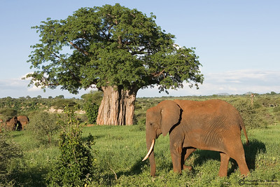 """Typical Africa""  Elephants and baobab trees are symbols of Africa. Did you notice the giraffe too?"