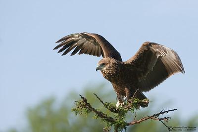 Batteleur Eagle.