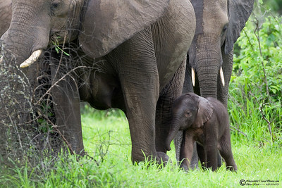 This young elephant is estimated to be 2 weeks old and already weights 120 lbs.
