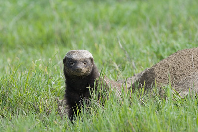 """Who is here""  Honey Badgers are rarely seen during day time and require extreme patience to photograph."