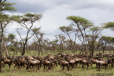 """The Annual Migration""  The annual migration of the wildebeest and zebra is a wildlife spectacular not to be missed. Here the migrating animals have become congested at the edge of the Serengeti."