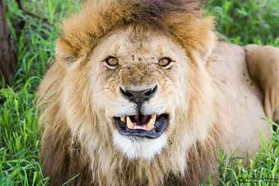 """Keep your distance""  Lions are gregarious, social cats, a unique trait among felines."
