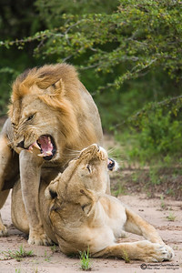The male usually initiates copulation with a mating snarl which is intended to excite the female.  If the female does not respond, the male lion may lick her neck, back, or shoulders until she complies.  The enticed female will then crouch down, and the male lion will quickly mount her.  The male lion during copulation will usually bite the neck of the female and let out a loud roar during and immediately after ejaculation.