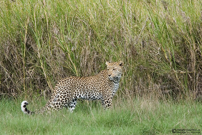 """The Look""  This leopard was on the ground for 45 seconds before dissappearing in the tall grass."
