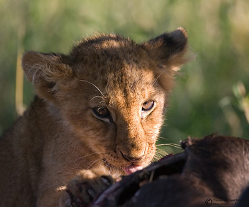 "Cub (estimated 4 weeks old) ""snacking on a wildebeest. This might have been his first ""meat"" meal."