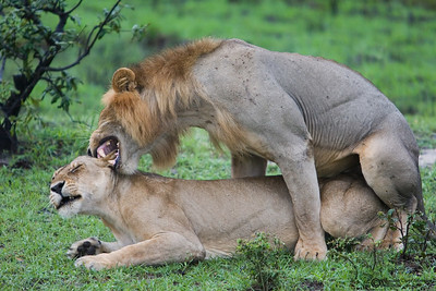 Lion mating is notoriously quick, repetitive, and unsuccessful. Copulation lasts about 30-70 seconds and is repeated once every 25 minutes during the four day period.