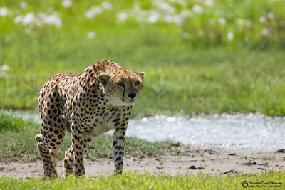 Cheetah is the fatest mammal on the planet.