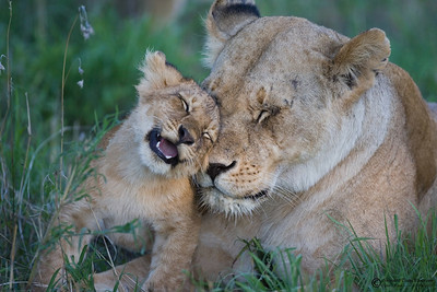 """I love you Mom""  A mother lion with one of her cubs has many responsibilities, such as providing enough food for her youngs."