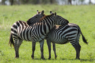 """Looking out""  Zebras rest in this position to watch out for predators."