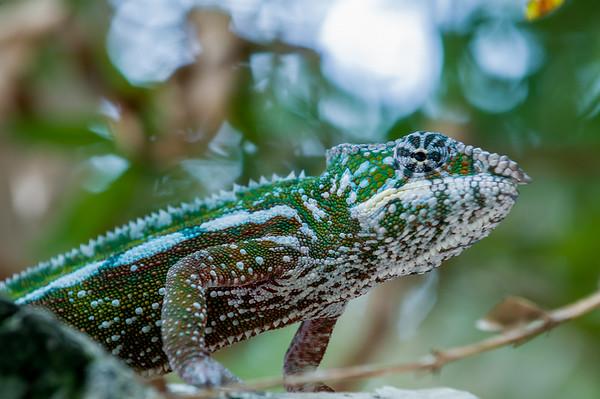 Chameleon. Parc National Andasibe Mantadia, Madagascar.