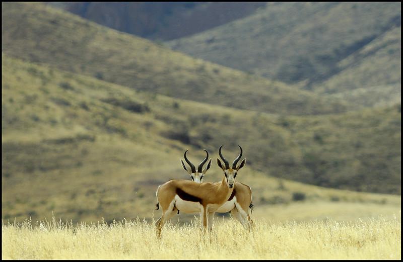 2 Springboks