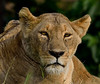 Portrait of a Lioness
