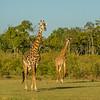 Giraffe.  Masai Mara safari with Mel, Lily and Chelsey.  Mara Engai Tented camp in The Mara Triangle.  October 30 to November 2nd, 2017.  Photo by: Stephen Hindley ©