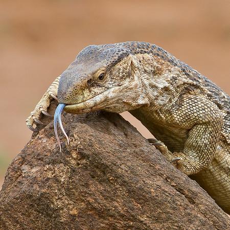 Monitor lizard in Tsavo East, Kenya safari. Photo by: Stephen Hindley ©