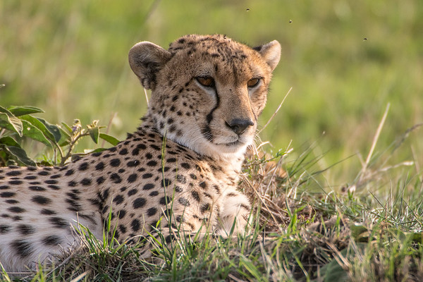 Female cheetah with two cubs.  Masai Mara safari with Mel, Lily and Chelsey.  Mara Engai Tented camp in The Mara Triangle.  October 30 to November 2nd, 2017.  Photo by: Stephen Hindley ©