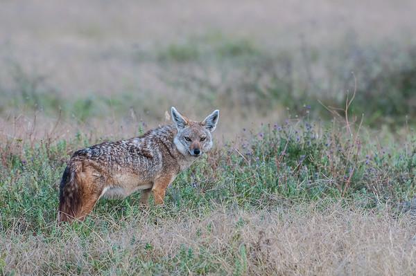 Silver backed jackal in Ngorongoro Crater, Tanzania.  Tanzania Safari  Photo by: Stephen Hindley