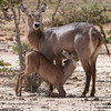 A young waterbuck feeds as the mother keeps watchat Satao, Tsavo East, Kenya safari. Photo by: Stephen Hindley ©