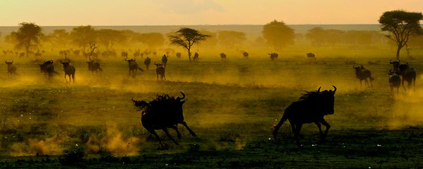 Stampede in the Serengeti