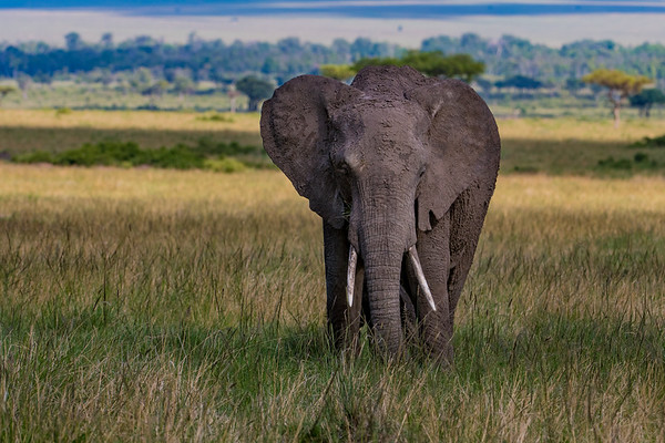 Elephant.  Masai Mara safari with Mel, Lily and Chelsey.  Mara Engai Tented camp in The Mara Triangle.  October 30 to November 2nd, 2017.  Photo by: Stephen Hindley ©